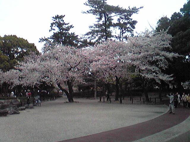 中村公園の桜が満開でした