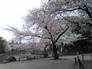 中村公園 桜1